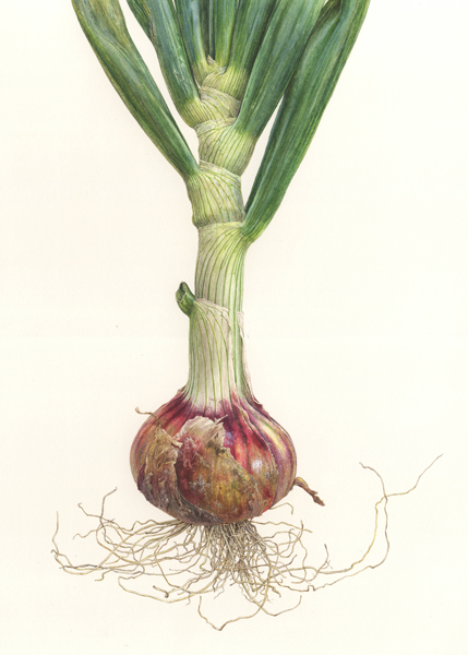 <strong>Rainbow Onion </strong> - <small><em>Allium cepa</em>   13 1/4 x 9 </small>  watercolor on paper