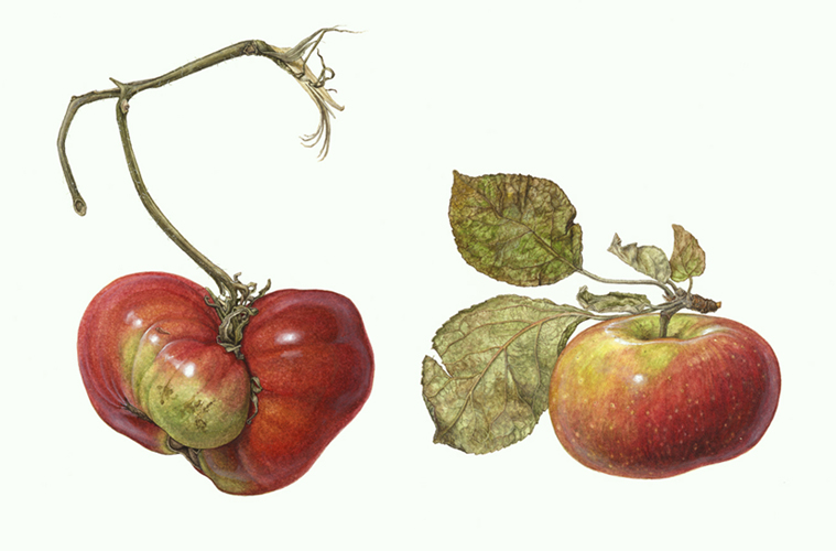 <strong>Accidental resemblance</strong> - an apple and a tomato  8 1/2 x 11