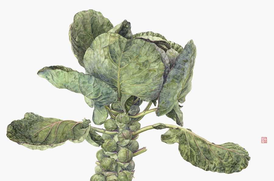 <strong>Brussels sprout </strong> - <small><em>Brassica oleracea </em>   14 1/2 x 20 1/2 </small>   watercolor on paper