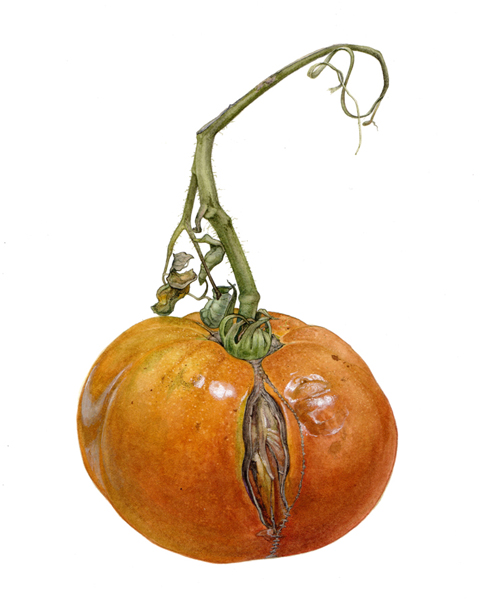 <strong>Ex-model</strong> <small><em> A portrait of a heirloom tomato </em></small> 18 1/2 x12 1/2