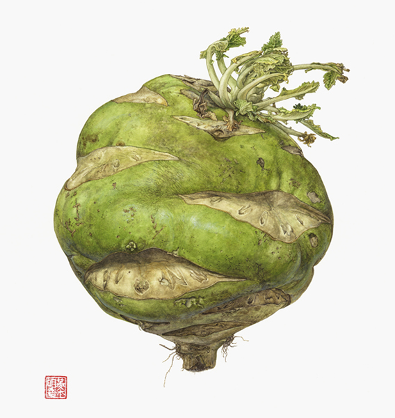 <strong>Giant kohlrabi (German turnip) </strong>-<small><em> Brassica oleracea <em>   11 1/2 x 9 1/2  </small>   watercolor on paper