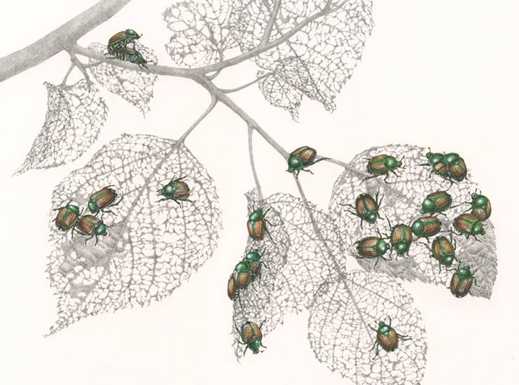 <strong>Japanese Beetles</strong>   11 x 14    watercolor and graphite on paper