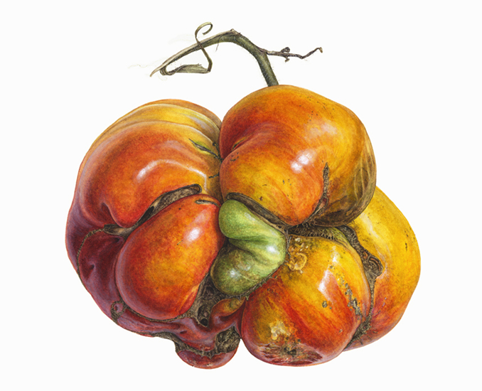 <strong>Kind-hearted monster</strong> <small><em> A portrait of a heirloom tomato </em></small>    12 x 15