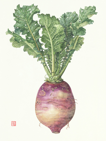 <strong>Purple daikon radish </strong> - <small><em> Raphanus sativus </em>    15 x 10 1/2 </small>    watercolor on paper