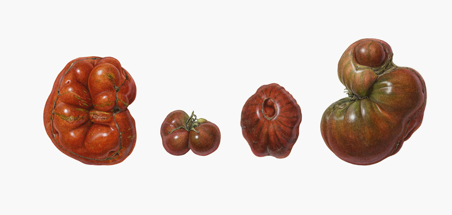 <strong>The smith</strong> <small> A portrait of a heirloom tomato </small>  13 x 19
