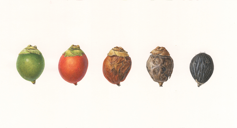 <strong>Foxtail palm fruit</strong> <em>(Wodyetia bifurcata) </em> <small>4 1/2 x 13 1/2 watercolor on paper</small>