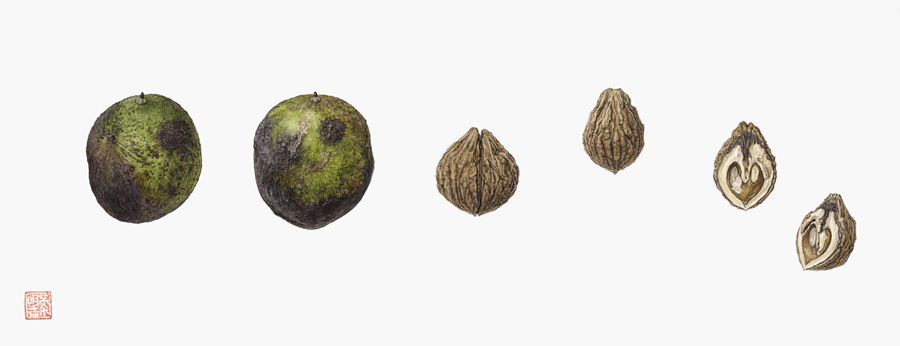 <strong>Black walnut</strong> 