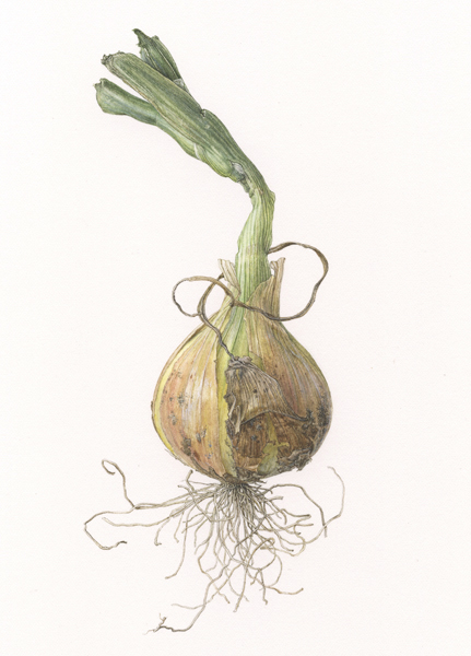 <strong>Small Onion </strong> - <small><em>Allium cepa</em>    9 1/2 x 7 1/2 </small>   watercolor on paper