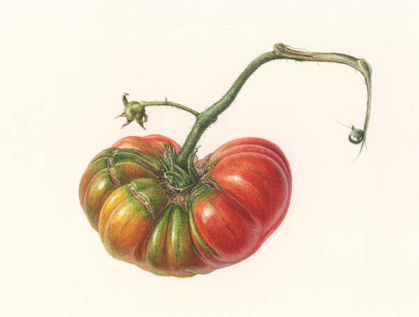 <strong> A little pretty pleats </strong>-<small> -A Portrait of a heirloom tomato-   12 x 16  </small>   watercolor on paper