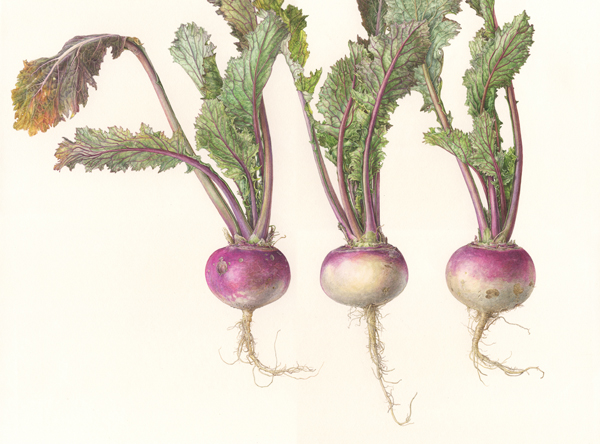 <strong>Turnip (AYAMEYUKI) </strong>-<small><em> Brassica rapa var. rapa <em>   12 x 16  </small>   watercolor on paper