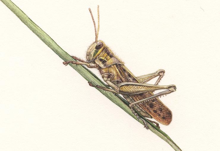 Susuki <em> Miscanthus sinensis</em> details