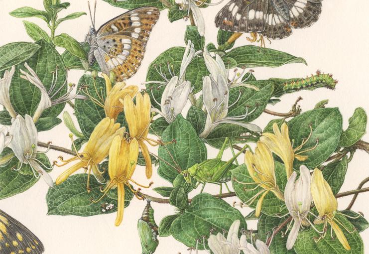 Japanese honeysuckle <em>Lonicera Japonica</em> details