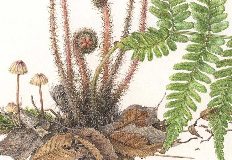 Fern <em>Dryopteris erythrosora</em> details