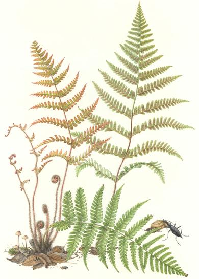 title ; Fern   <em>Dryopteris erythrosora</em> <small>medium ;  watercolor on paper</small> image size ; 24 x 16 1/2 (H x W)