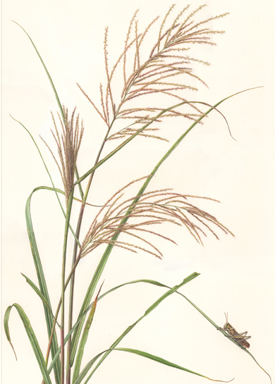 title ; Susuki  <em> Miscanthus sinensis</em> <small>medium ;  watercolor on paper</small> image size ; 24 x 16 1/2 (H x W)