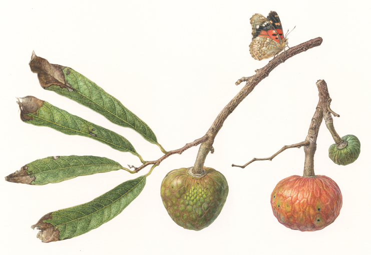 title ; Wild Custard Apple