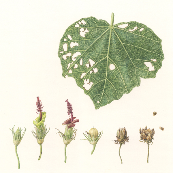 title ; Hibiscus Hau Kuahiwi