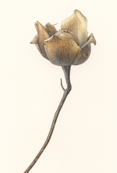 title ; Woodrose